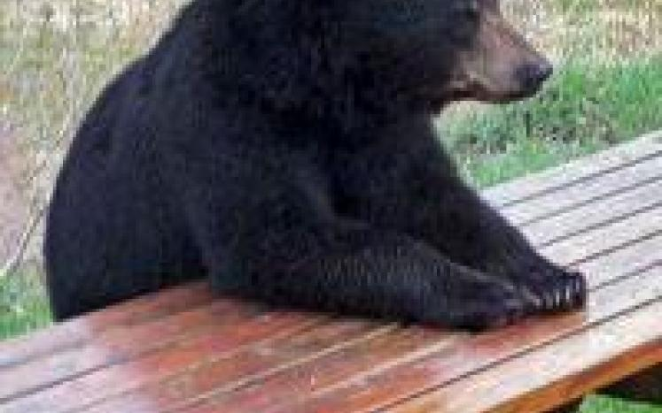 Black Bears in the Township